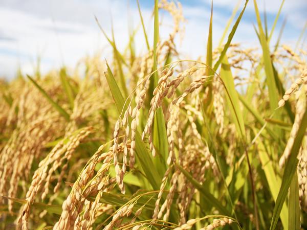 太陽の光を浴びる稲